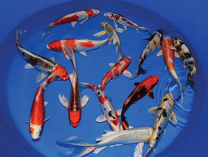 Bibit Ikan Koi Kualitas Bagus Harga Murah