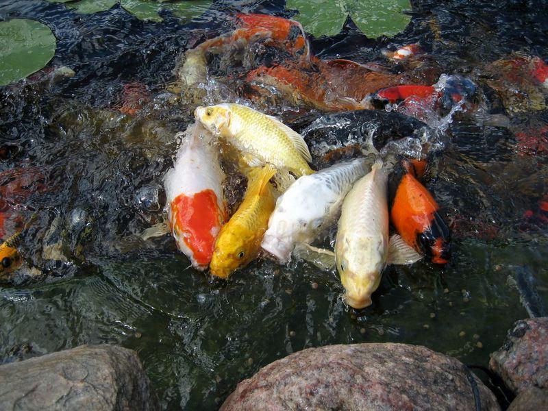 Harga Bibit Ikan Koi Kualitas Super