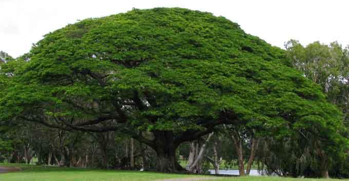 Harga Pohon Trembesi Kualitas Unggul