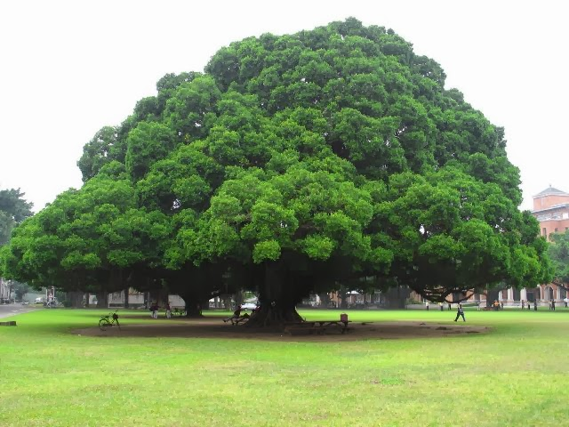 Pohon Trembesi Harga Murah