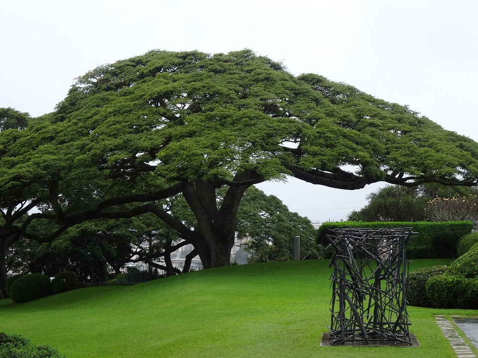 Jual Pohon Trembesi Tinggi 1 Meter