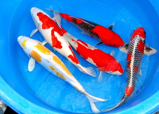 Budidaya Ikan Koi Bagi Pemula