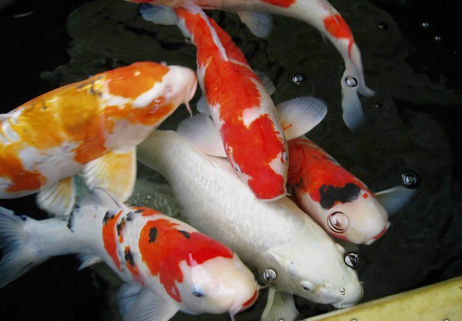 Trik Khusus Memilih Ikan Koi Berkualitas